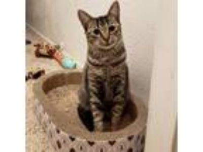 Adopt Bandit a Gray or Blue Domestic Shorthair cat in Dallas, TX (23484756)