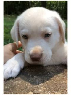 Labrador Retriever PUPPY FOR SALE ADN-88934 - Yellow Dudley Lab