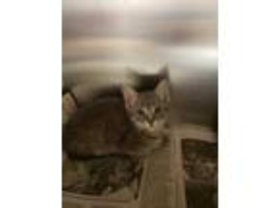 Adopt Jackson 5 a Gray or Blue Domestic Shorthair / Domestic Shorthair / Mixed