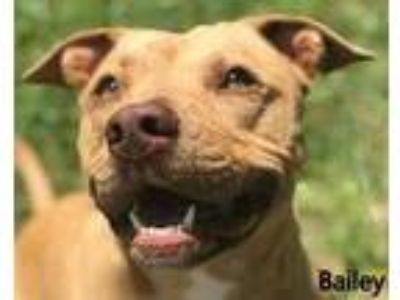Adopt Bailey a Red/Golden/Orange/Chestnut American Pit Bull Terrier / Mixed dog