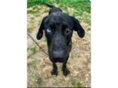 Adopt THOR a Catahoula Leopard Dog, Mixed Breed