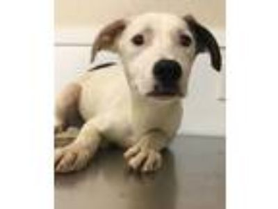 Adopt 41733100 a White Terrier (Unknown Type, Small) / Mixed dog in Bryan