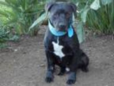 Adopt RICK a Pit Bull Terrier, Mixed Breed