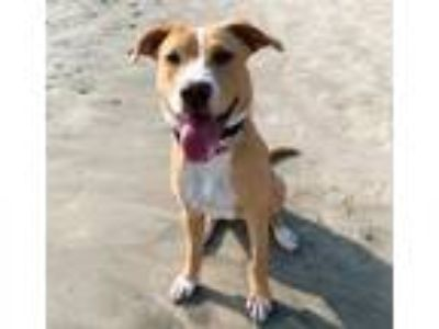 Adopt Eleanor a Labrador Retriever, Hound