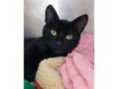 Adopt India a Domestic Shorthair / Mixed (short coat) cat in Novato