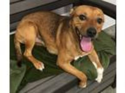 Adopt RANGER a Shepherd (Unknown Type) / Mixed dog in Sandusky, OH (25348957)