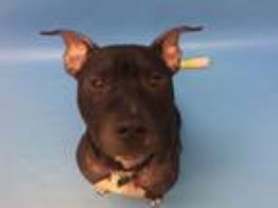 Adopt Archer a Pit Bull Terrier, Mixed Breed