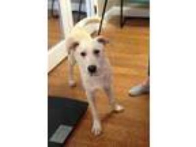 Adopt Logan a Tan/Yellow/Fawn Labrador Retriever / Mixed dog in Garland