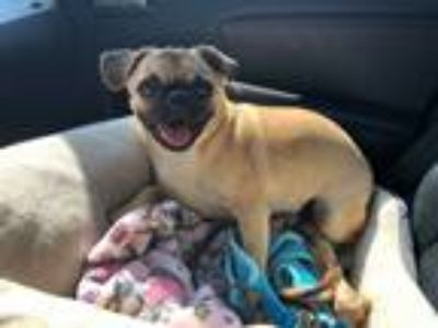 Adopt Oatmeal a Tan/Yellow/Fawn Pug / Mixed dog in Huntington Beach