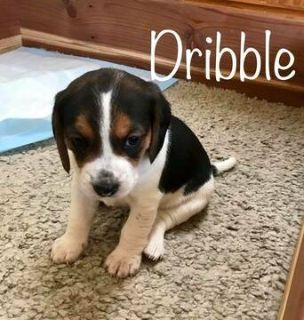 Beagle PUPPY FOR SALE ADN-108195 - Beagle Puppies
