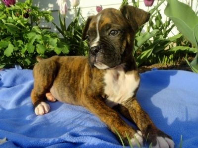 Boxer PUPPY FOR SALE ADN-76476 - Boxer Puppy for Sale