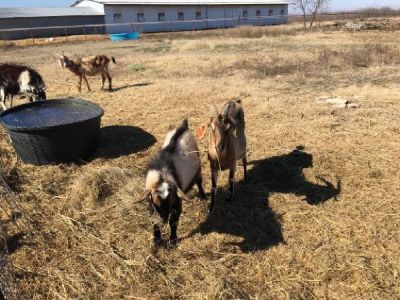 Baby goat for sale Nubian mix Male 100% grass fed Unvaccinated