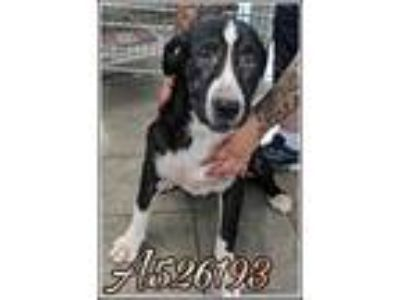 Adopt PANTERA a Black - with White American Pit Bull Terrier / Dalmatian / Mixed