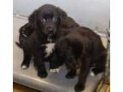 Adopt Lab puppies a Labrador Retriever