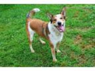 Adopt SAMMY a German Shepherd Dog, Border Collie