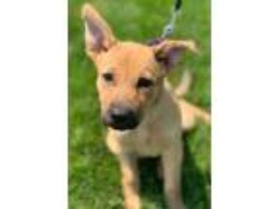 Adopt Gabby a Brown/Chocolate German Shepherd Dog / Mixed dog in Chester