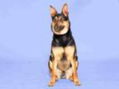 Adopt POCA a German Shepherd Dog