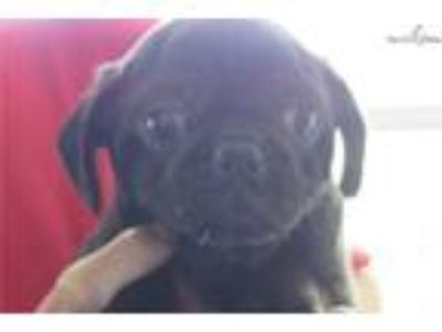 Pug puppy black male AKC [phone removed]