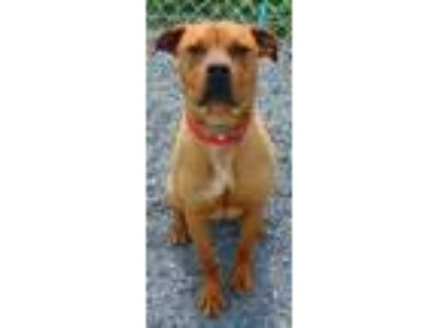 Adopt Gemma-Cougar Canine a Boxer, Mixed Breed