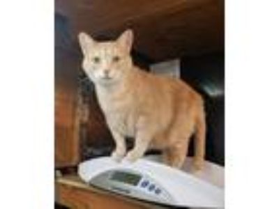 Adopt Ruby a Tan or Fawn Tabby Domestic Shorthair (short coat) cat in Lombard