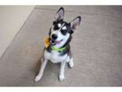 Adopt Erica a Black - with White Husky / Mixed dog in McKinney, TX (25933877)