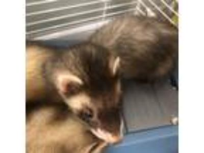 Adopt Lefty a Black Ferret / Ferret / Mixed small animal in Menands