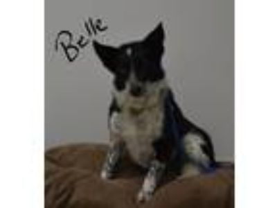 Adopt Belle a Black - with White Blue Heeler / Border Collie / Mixed dog in