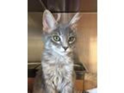 Adopt 9135 a Gray or Blue Domestic Mediumhair / Domestic Shorthair / Mixed cat