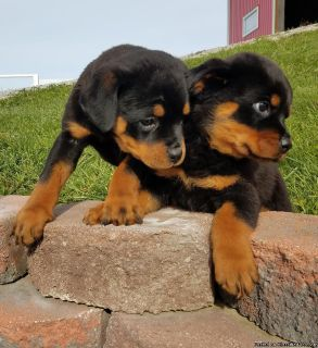 hot classy Rottweiler puppies for sale