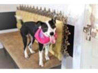 Adopt Gidget Lonestar a Border Collie