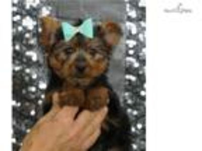 Beau Adorable Yorkie Puppy Ready to go!
