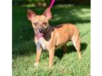 Adopt ISABELLA a Brown/Chocolate - with Tan Rat Terrier / Mixed dog in Darien