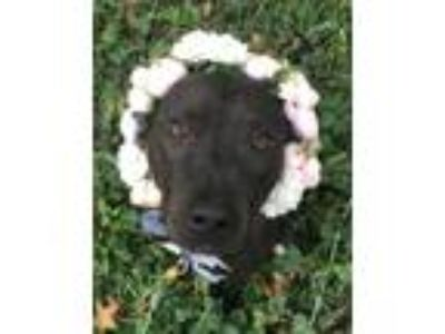 Adopt Revival a Black Labrador Retriever / American Pit Bull Terrier / Mixed dog