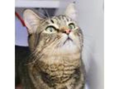 Adopt Bella Bee a Domestic Shorthair / Mixed cat in Silverdale, WA (25311220)