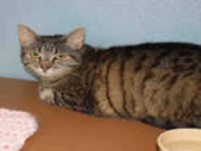 Adopt KITTY PERRY a Brown Tabby Domestic Shorthair / Mixed (short coat) cat in