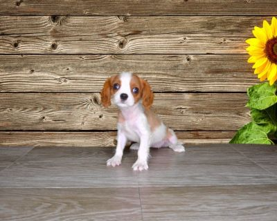 Purebred Female Cavalier King Charles www.PuppiesForSaleToday.com