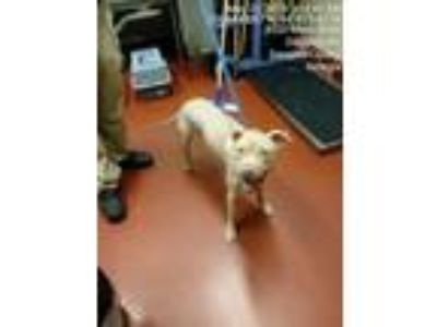 Adopt Petey Pablo a Tan/Yellow/Fawn American Pit Bull Terrier dog in