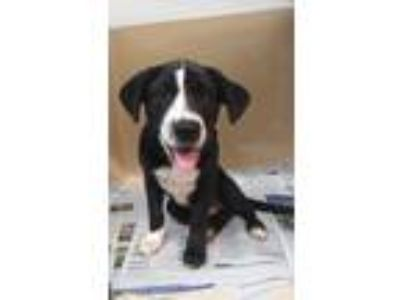Adopt Marshall a Border Collie
