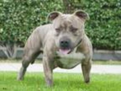 Adopt Chica a Staffordshire Bull Terrier