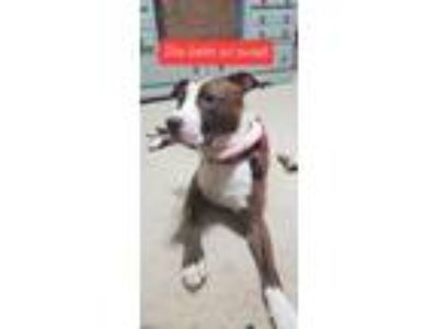 Adopt Dakota a Tan/Yellow/Fawn - with White American Pit Bull Terrier / Mixed