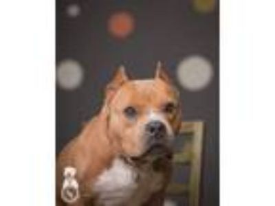 Adopt Marvel a Pit Bull Terrier