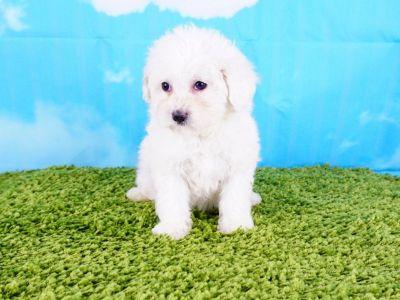Maltipoo Puppy – Female - LoLa ($1100)