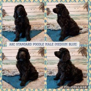 Poodle (Standard) PUPPY FOR SALE ADN-104353 - AKC BLACK STANDARD POODLE PUPS
