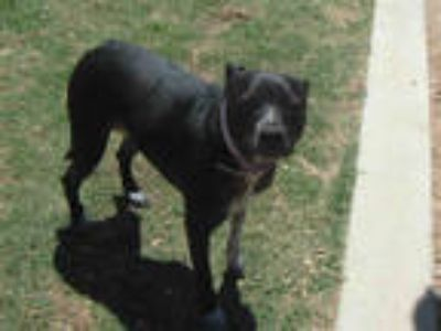 Adopt MELODY a Black American Pit Bull Terrier / Mixed dog in Plano
