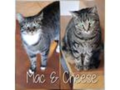 Adopt Mac & Cheese a Black (Mostly) American Shorthair cat in Chicago