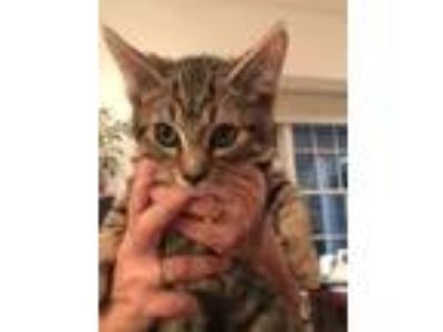 Adopt Kit Kat a Domestic Short Hair, Tabby