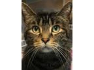 Adopt Owen a Brown Tabby Domestic Shorthair (short coat) cat in Wilmington