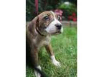 Adopt Bryanna a Brindle - with White Boxer / Beagle / Mixed dog in West Nyack