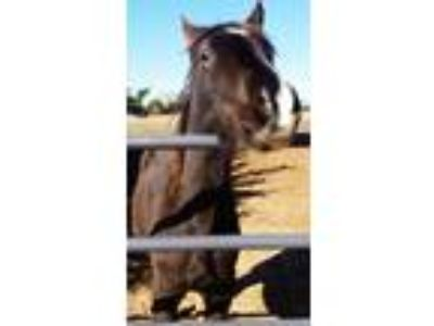 Adopt Durango a Pony - Other / Mixed horse in Guthrie, OK (21617710)