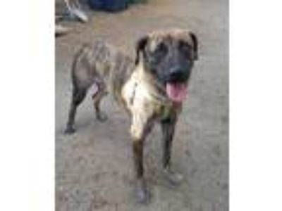 Adopt Lucielle a Brindle Shepherd (Unknown Type) / Whippet / Mixed dog in Culver